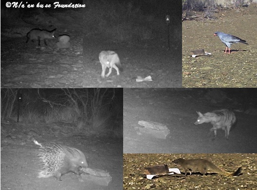 Animals investigate rags wedged between two stones and scented with Calvin Klein Free cologne. From left to right and top to bottom: a bat-eared fox, a black-backed jackal, a pale chanting goshawk, a porcupine, an aardwolf, and a slender mongoose.