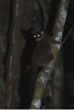 "Glowing eyes hide how desperately cute Galagos aka ""Bush Babies"" are."
