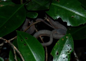 Mangrove viper at Pasir Ris.