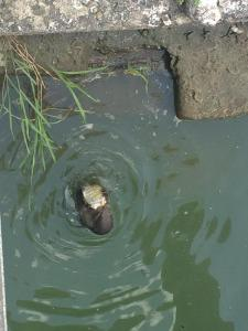 A river otter chows down on his catch