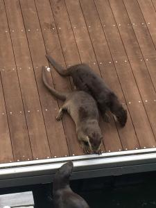 Otters playing on the dock near Merlion Park