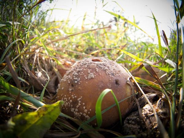 Appel mit Schimmel ohne Holz. Foto: Hufner