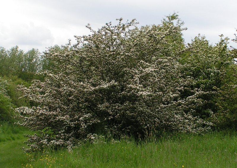 The hawthorn is sacred to and protected by leprechauns and other fair folk. You were warned. Photo: Eugene Zelenko, Creative Commons, some rights reserved