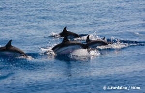 Stalking a groups of striped dolphins
