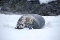 A Weddell seal sleeps comfortably in the snow