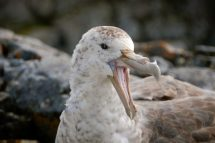 Southern giant petrels demonstrate a lot of variety in both plumage and eye color