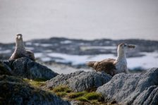 Southern giant petrels at the top of Hermit Island