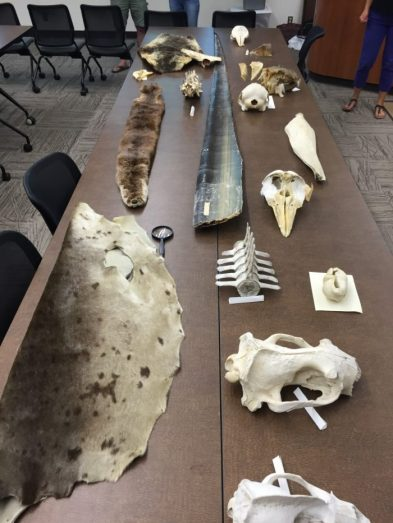 Many thanks to Hatfield Marine Science Center and Oregon Sea Grant for lending us some neat marine mammal biofacts!