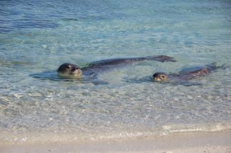 The endangered Hawaiian monk seal