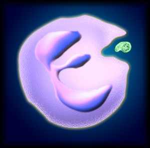 Neutrophil and Bacteria