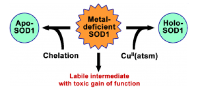 Can copper compounds help reform a functional SOD protein?