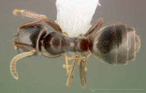 Odorous house ant, Tapinoma sessile; dorsal view.