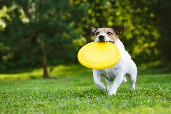 Adult Dog Playing Catch And Fetch With Plastic Disk Outdoor