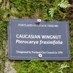 A plaque on tree reading Caucasian Wingnut [latin name] pterocarya fraxinifolia