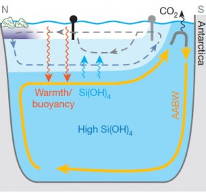 As glaciers melted in the northern reaches of the globe (far upper left), the influx of freshwater, which is naturally less dense than salt-laden ocean water, reduced the normally strong sinking of water in that region. This allowed silicate-rich deep water to rise upward into the shallower ocean waters (upward blue arrows), stimulating the production of opal by diatoms, while warm surface water mixed downward (red arrows) into the southern-sourced deep water. The rising silicate-rich water drew dense cold water from near Antarctica, yielding a cycle of water movement (in yellow). The new circulation pattern caused the carbon dioxide stored in the deep water to be released to the atmosphere near Antarctica (far upper right). Image source: Daniel Sigman.