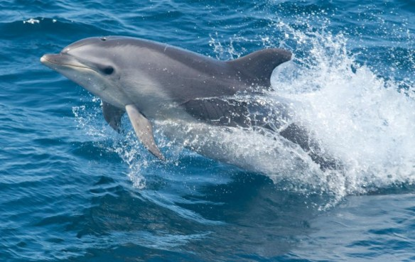 Common bottlenose dolphin. Image credit: Allison Henry, NOAA.