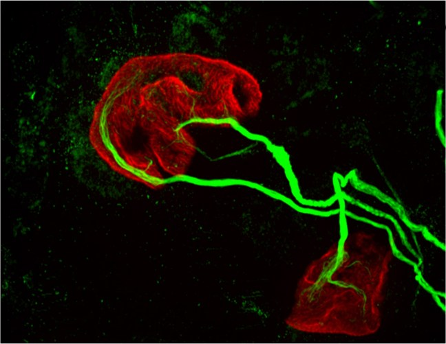 two motor neurons (green) connected to a single muscle fiber (red)