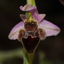 Other local orchid 1 - suggested name by Dr. Hannes F.Paulus is O. lapethica with a little bit pressed flower