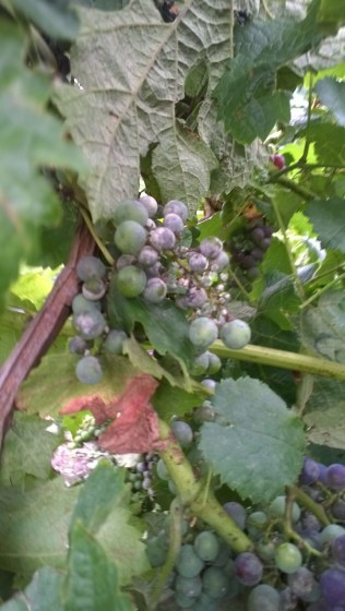 Powdery mildew is a very real problem in the grape growing regions of Hungary