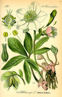 Day 11 - The Christmas rose, Helleborus niger