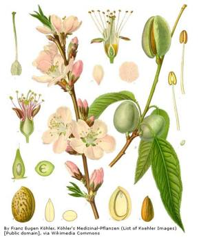Day 7 - Almonds, Prunus dulcis, the almond