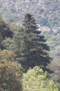Day 15 - Christmas tree, Young tree of Abies pinsapo (Spanish fir) in the Sierra de Gracelema