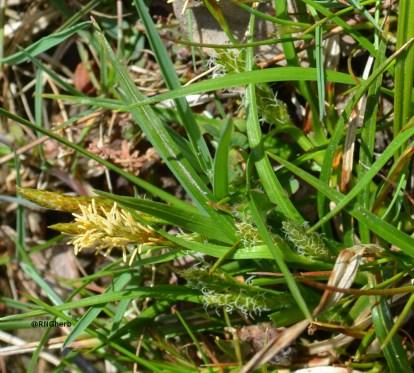 Carex demissa (Cyperaceae)