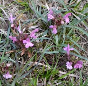 Pedicularis sylvatica (Orobanchaceae)