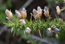 Ulex gallii (Fabaceae)