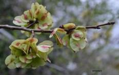 Ulmus sp. (Ulmaceae)