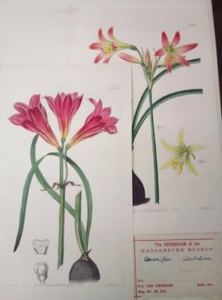 Amaryllis belladonna images at Manchester Herbarium