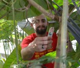 Jason Sumner introducing a tube of Cryptolaemus adults into the Tropical Glasshouse on 21st August 2013.