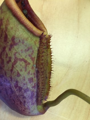 Here the two fringed wings can be seen. Notice how the fringe goes all the way down to the base of of the pitcher. This is unusual for N. mira which should have the fringe only on the upper half. Furthermore, with just one or two exceptions, the fringe elements (hairs) arise individually and not in pairs. This is also unusual for N. mira which usually has the elements in pairs.
