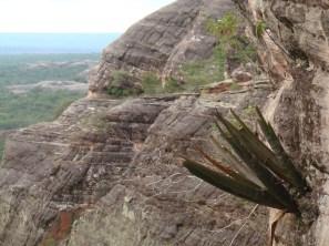 Billbergia sp at the Serra das Confusões National Park, Piauí, Brazl.