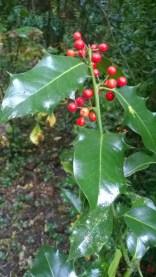 Iley aquifolium