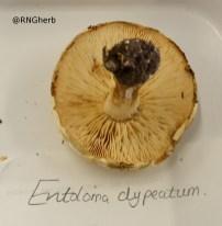 xv Russula ochroleuca