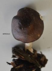 12a - Rhodocollybia butyracea - Butter Cap (Dark form)