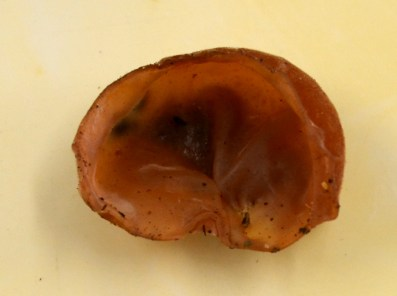 9 - Auricularia auricula-judae - Jew's Ear or Jelly Ear