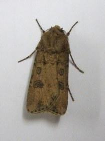Turnip Moth