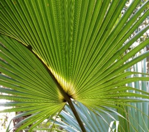 The costapalmate frond of Sabal palmetto. Photo by Katja Schulz. License: CC Public Domain.
