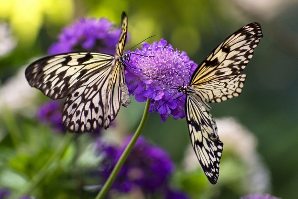 A group of butterflies is sometimes called a flutter. 19 Fascinating Butterfly Facts