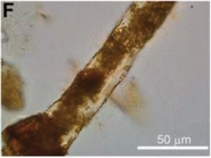 A preserved blood vessel of Brachylophosaurus, with what may be degraded dinosaur blood inside. From the Science paper.