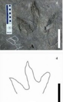 """One of the theropod footprints from """"Trackway B"""". From the Palaeogeography, Palaeoclimatology, Palaeoecology paper."""