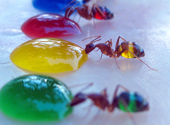 Ants drinking coloured liquids