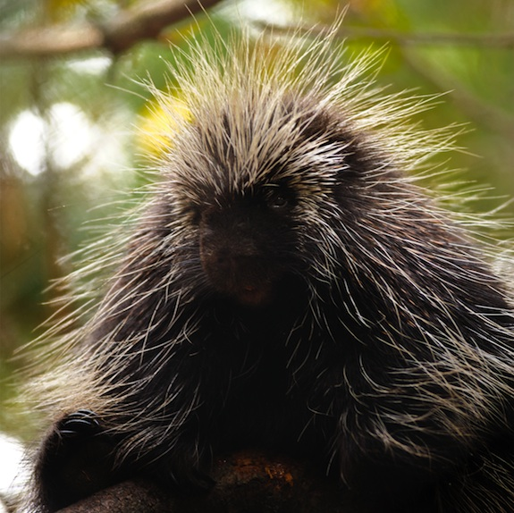 Could Porcupine Quills Help Us Design the Next Hypodermic Needle