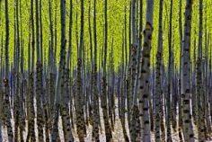Tom-Glassman-Spring-Trees-300x201.jpg
