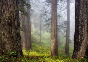 """Redwoods"" photograph by Julie Bonney"