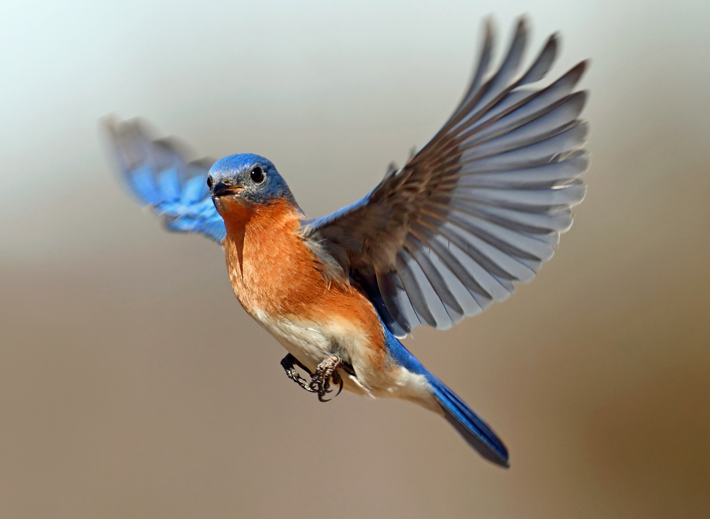 eastern bluebirds – is happiness on the way?   tallahassee