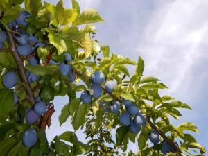 the bumper crop of Italian Prune Plums