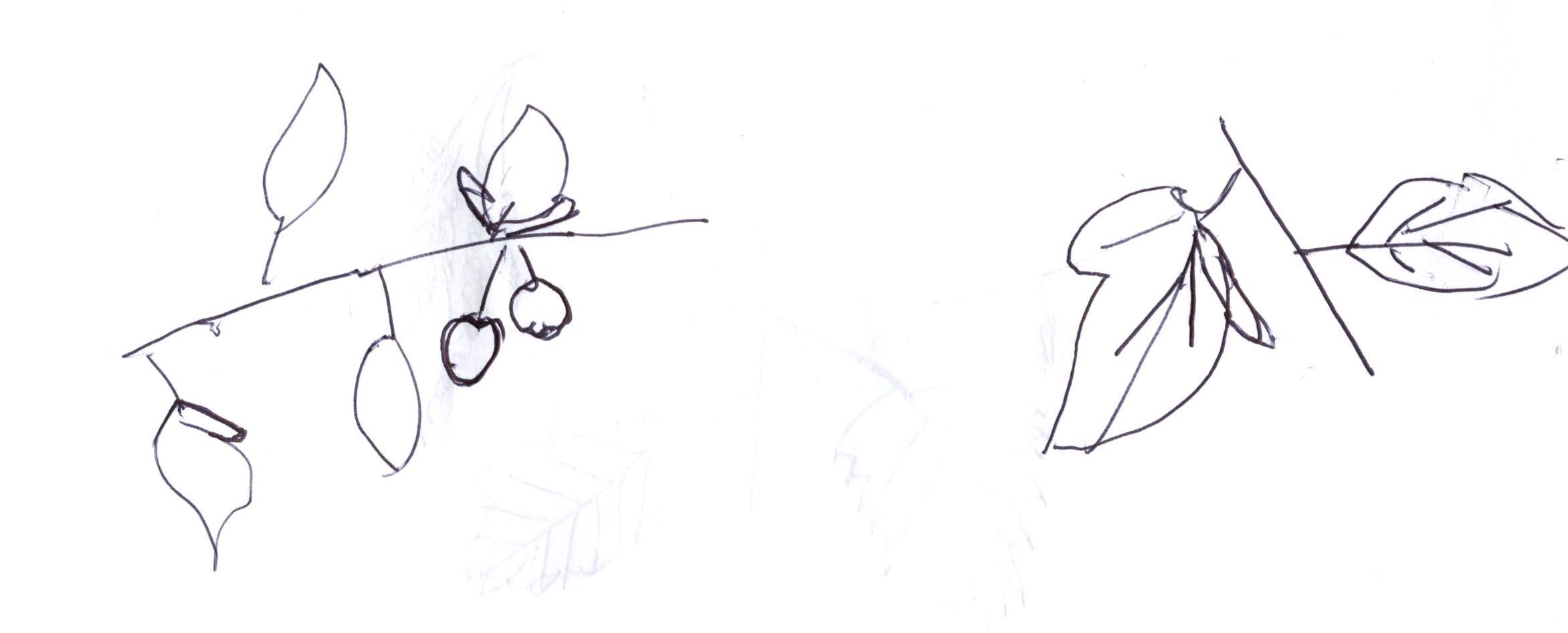 Malnus Fusca N Pacific Crabapple